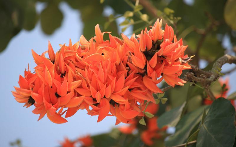 WALKING WITH WILDFLOWERS - Tiger Safari IndiaPalash Flower