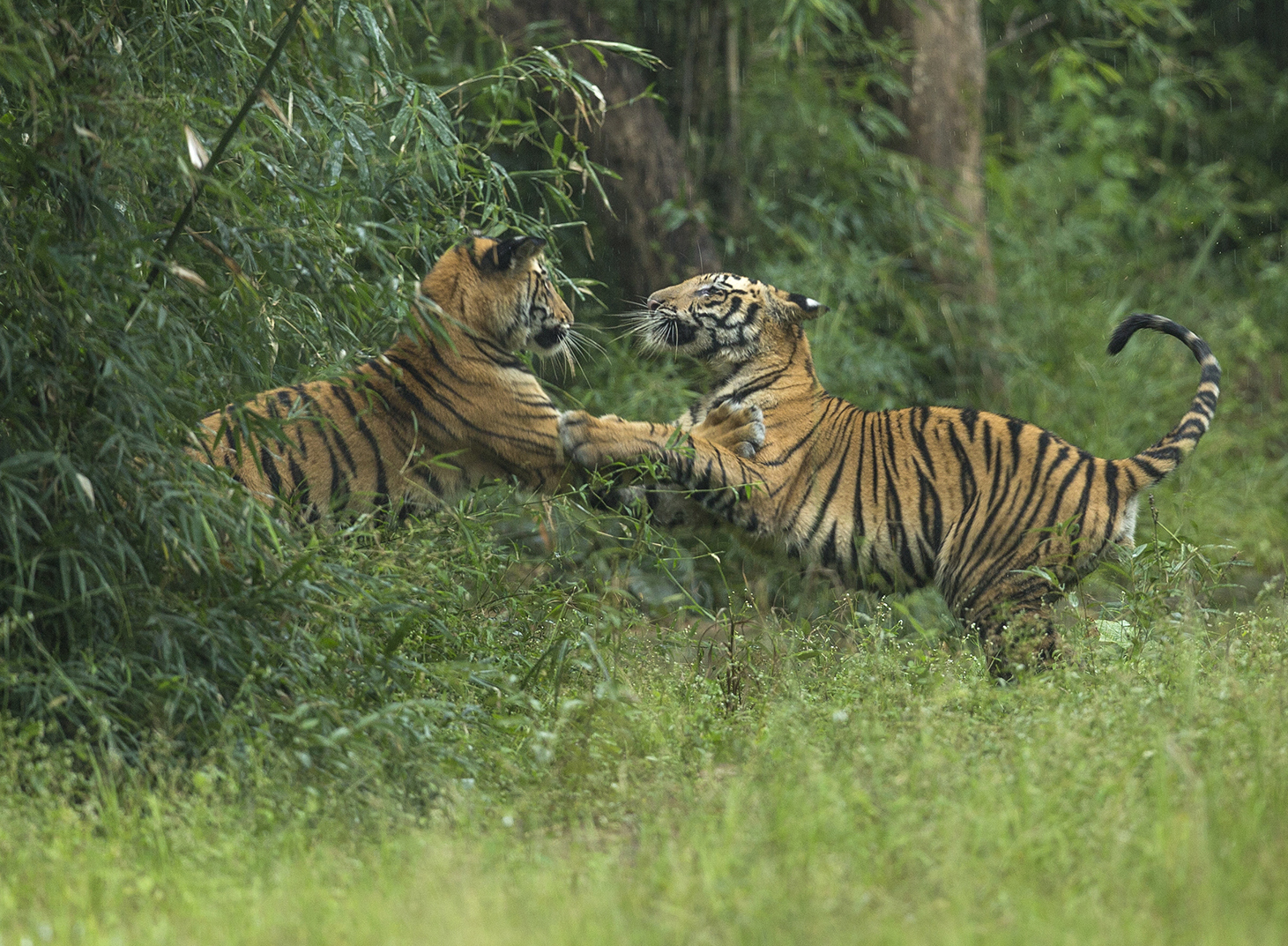 Tigers in action are often photographed more than sleeping ...