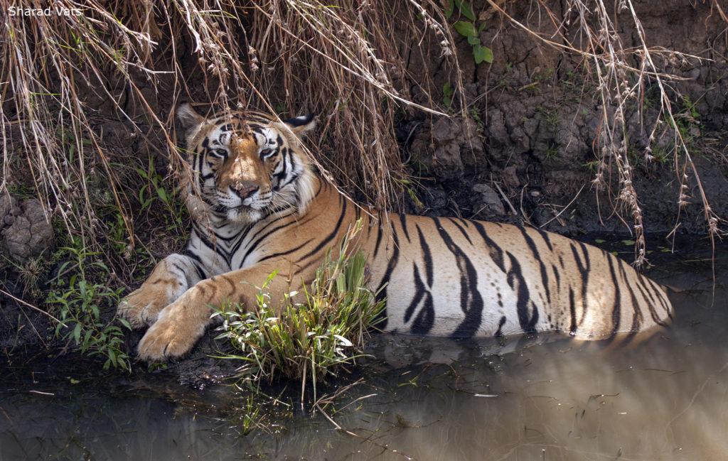 The Tiger - A Keystone Species