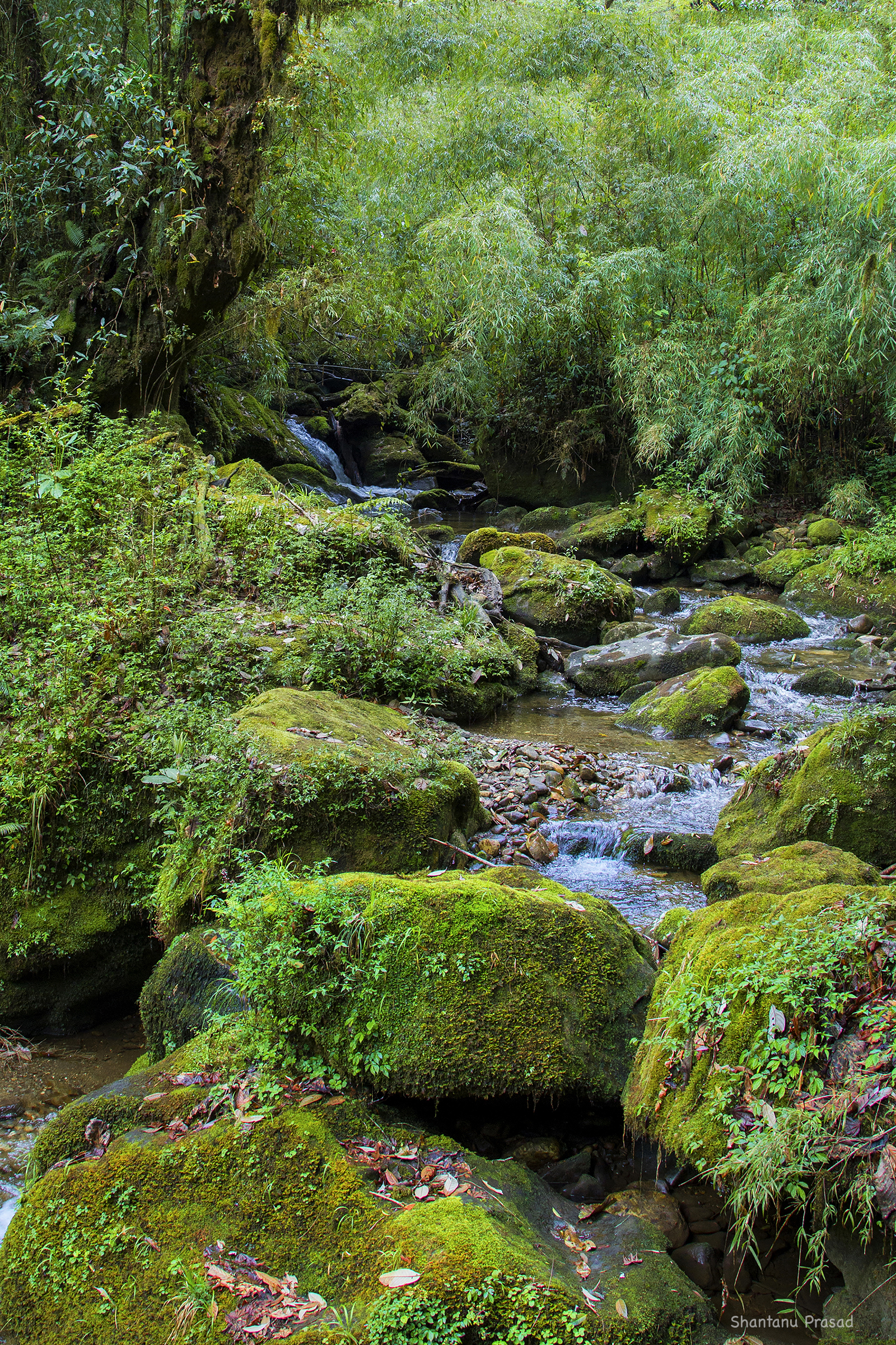 Habitat : Mountain streams in the dense Bamboo Forests.
