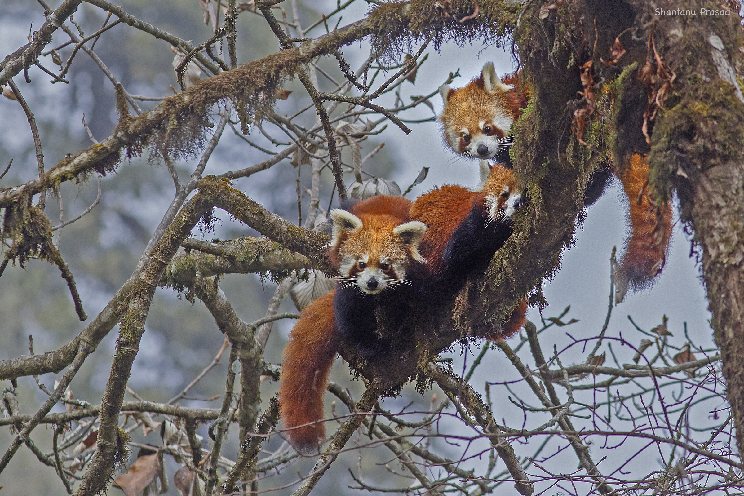 Red Panda : A Family of Red Pandas – a more endearing site one cannot hope to witness.