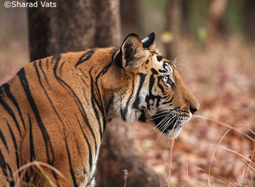 5 Types Of Tiger Sighting In India Tiger Safari India